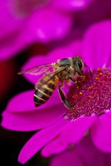 Busy Bee (Dennis Wong) Tags: show pink red flower macro closeup season hongkong spring flora dof purple bokeh lavender x hong kong lilac   tamron 2010 hybrida   pericallis    macrolife   tamron60mmf2 tamronspaf60mmf2diiimacro
