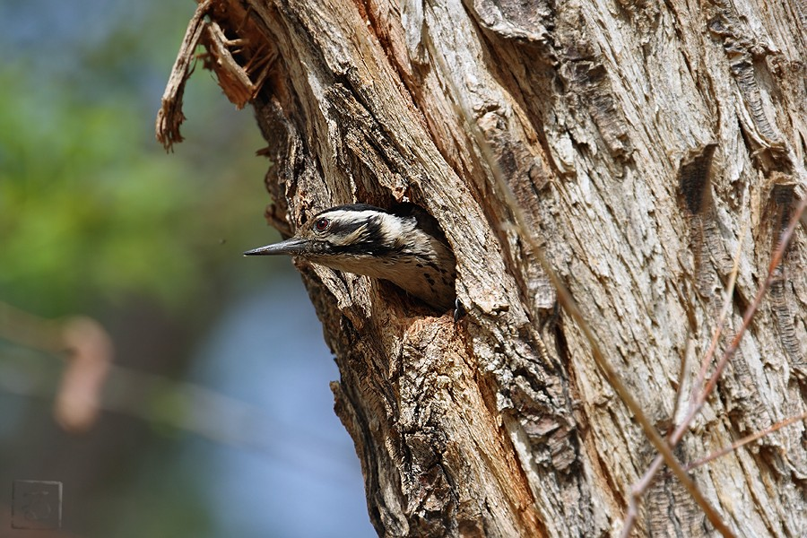 Ladder-backed Woodpecker 05091