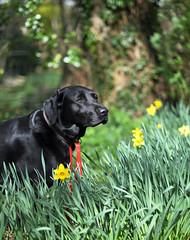 Daft (JPBWright) Tags: flowers dog black portraits photography lab fields blitz daffodils jameswright jpbwright jameswrightphotography