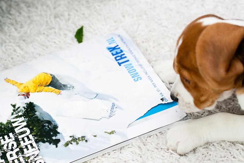 Maartin the Beagle