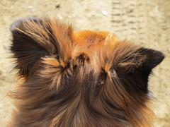 Suzee Ears (jnoc) Tags: dog dogs montague montagueplains