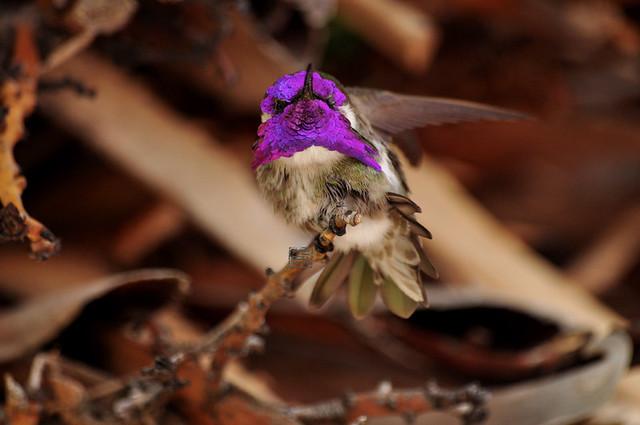 Costa's Hummingbird 3-31-10, AZ