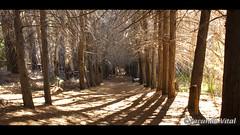 Bosque de pinos en Isla Victoria / Bariloche (Facu551) Tags: patagonia naturaleza nature argentina forest landscape paisaje bosque pinar bariloche rionegro parquenacional patagoniaargentina lagonahuelhuapi sancarlosdebariloche islavictoria reservanatural bosquedepinos facundovital reservaestricta