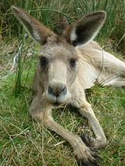 Kangourou @ Mount Field NP, Tasmania, Australia