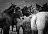 a bassa voce (the_lighter) Tags: horses bw nikon cavalli biancoenero cappadocia abruzzo muli fieno d60 marsica castellafiume
