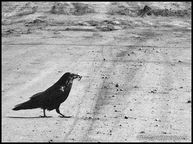P1090338_raven