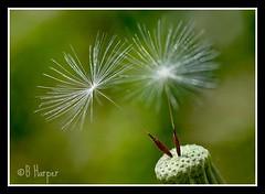 041310_Dandelions_3898 (shutterbugbekkie) Tags: flowers nature spring dandelions selectbestexcellence sbfmasterpiece