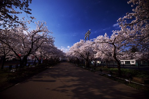201004188980桜ロード_R