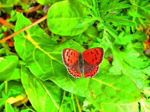 Butterfly Nara Koriyama/ HDR