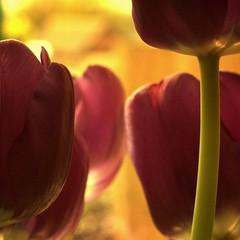 Womb (digitalpsam) Tags: light purple tulips sammatta