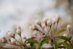 Apple Blossoms (bronenkant) Tags: apple wisconsin spring nikon blossoms d90 bloomfieldtownship hafsroadorchard