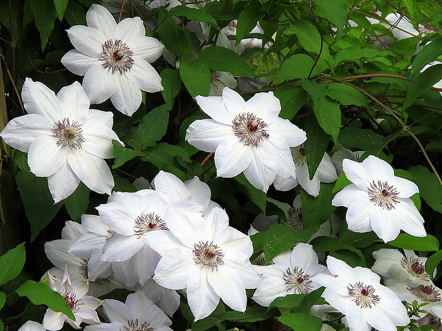 White Clematis Lovely Flowers
