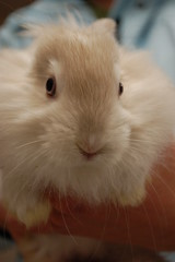 I loved this face (Carly & Art) Tags: pet cute bunny dc washington md furry day baltimore adoption hrs houserabbit justlooking houserabbitsociety