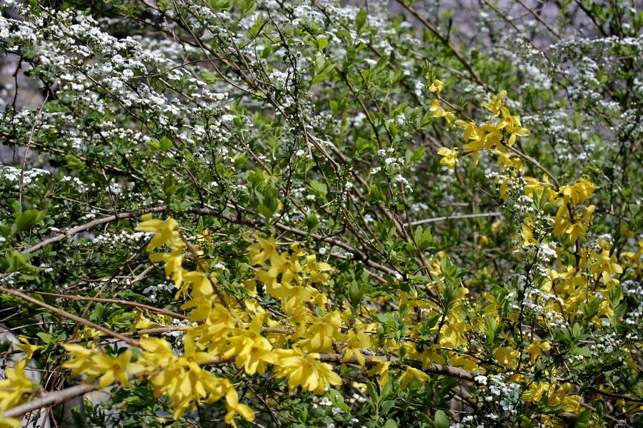Spring blossom(2)
