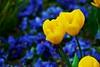 Gelbe Tulpen vor blauen Stiefmütterchen