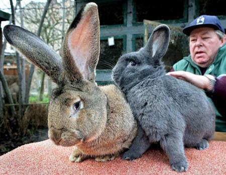 F Giant Rabbit giant rabbit German Giant