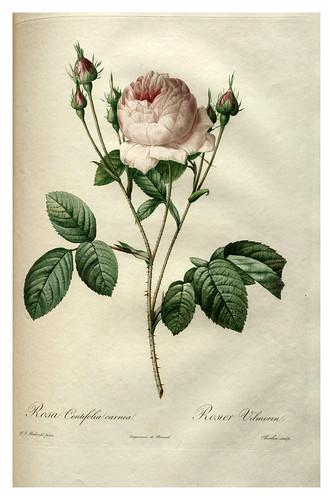 011-Les roses 1817-1824- Pierre-Joseph Redouté