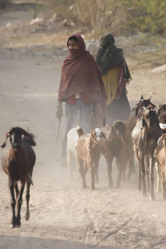 Young women herd goats in Rajasthan