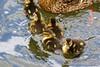 D5 Dinton Pastures 014 (PeaTJay) Tags: flowers plants nature birds gardens lakes reserve ducks ducklings carlsbirdclub