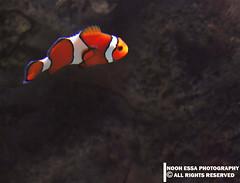 Finding Nemo (Nooh Essa) Tags: sea orange fish laughing alone nemo joke under single below joking