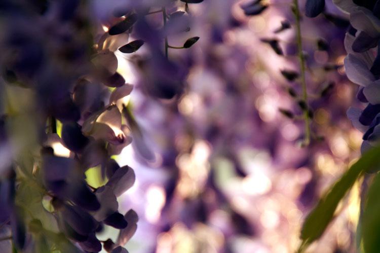 purpleflowers4