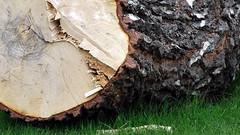 Stammen -|- Trunk (erlingsi) Tags: lost trunk birch oc 169 volda bjrk erlingsi tapt erlingsivertsen stamme tvformat voldabackstage ikulissene