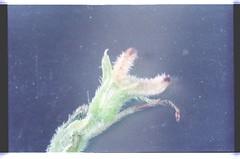 18   080927-1598-010300 (h35312) Tags: 18  aspera ulmaceae planch thunb urticales   aphananthe      0809271598010300