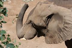 Swing me to the moon (San Diego Shooter) Tags: elephant sandiego elephants sandiegozoo safaripark sandiegowildanimalpark sandiegozoosafaripark sandiegosafaripark