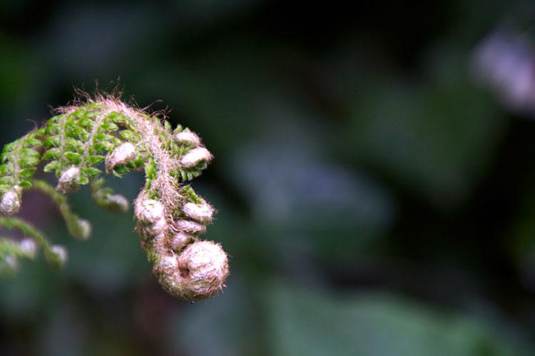 garden-fern
