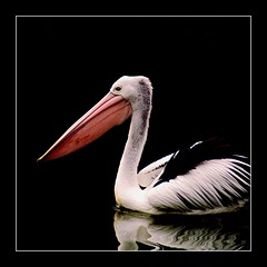 """black lagoon"" (rogersmithpix) Tags: nature birds wildlife pelican wetlands southaustralia adelaidehills clelandwildlifepark pelicanusconspicillatus"