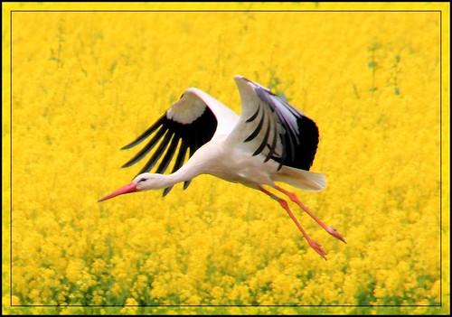 Storch in den Ederauen