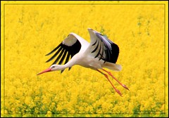 Storch in den Ederauen (Haldorfer) Tags: plant bird nature yellow river germany deutschland fly holidays hessen blossom natur pflanze beak feather rape gelb fluss blte allemagne raps ferien soe freizeit stork germania tourismus vogel schnabel hesse fliegen storch flug feder eder naturesfinest wabern blueribbonwinner coth nordhessen schwalmederkreis auen physis specanimal abigfave anawesomeshot weisstorch platinumheartaward natureselegantshots platinumsuperstar saariysqualitypictures updatecollection bestofmywinners coth5 mygearandme mygearandmepremium mygearandmebronze mygearandmesilver mygearandmegold mygearandmeplatinum mygearandmediamond ringexcellence blinkagain dblringexcellence niedermllich tplringexcellence haldorfer jrgenkrug aboveandbeyondlevel1 blinksuperstars eltringexcellence 4timesasnice rememberthatmomentlevel4 rememberthatmomentlevel5