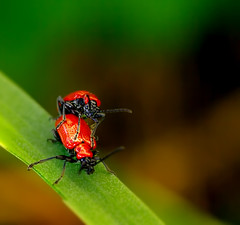 Love Bug! (Faisal!) Tags: love nature floral bug insect foreplay romance