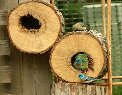 Lazuli Bunting (boisebluebird) Tags: wild macro bird birds log nikon wildlife birding birdfeeder idaho boise migratory grosbeak birdwatching bunting buntings lazuli passerinaamoena migratorybirds flipvideo birdsidaho boisemovieman michaeltoolson boisebluebird boisebluebirdcom httpwwwboisebluebirdcom boiselandscaping boisegardener