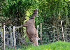 I'm sure I used to be a Giraffe !?! (nondesigner59) Tags: nature animal fence eating goat stretching hawthorn eos50d unlimitedphotos nondesigner nd59