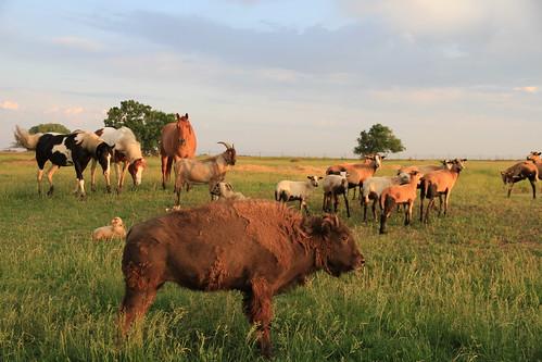 Harmony - A1 Savannahs Farm