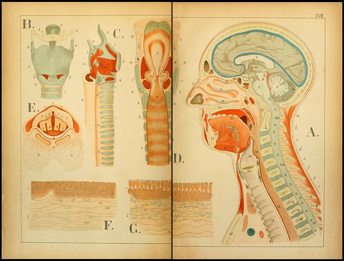 An atlas of Anatomy (FF Miller, 1879) m