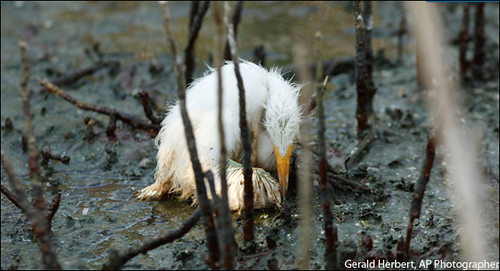 Dying Baby Egret