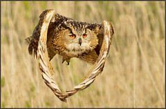 The owl of the rising sun (hvhe1) Tags: bird nature japan canon island wings bravo shoot searchthebest wildlife hannah flight interestingness1 raptor owl birdofprey filmset oshima eagleowl specanimal hvhe1 hennievanheerden avianexcellence 1dmarkiv eos1dmarkiv