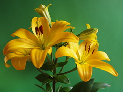 Lily - Giglio (SissiPrincess) Tags: flowers light brown verde green leaves yellow foglie petals lily giallo buds fiori 1001nights pet