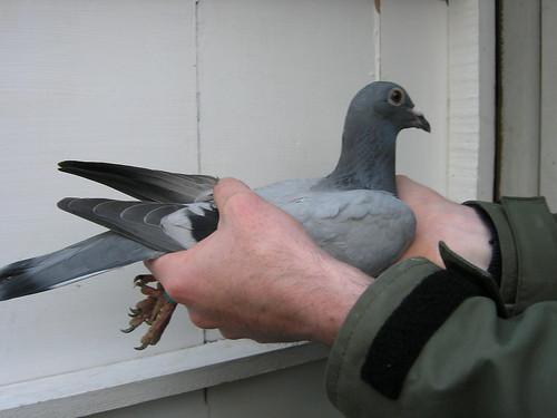 DiG pigeon