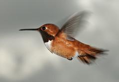 Rufous Hummingbird  3 (Selasphorus rufus) (Paul Whalen) Tags: bird hummingbird britishcolumbia flash birdsinflight kootenays bif birdinflight rufoushummingbird selasphorusrufus nikond300 nikkor7002100mmf4056