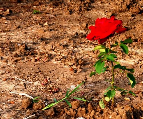 trandafir singuratic