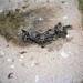 Dog Carcass - Jilib, Somalia