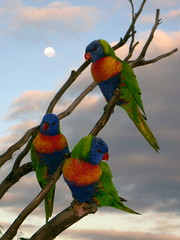 Moonlight Serenade (robbiesydney) Tags: bird nature lorikeet australia moonlight otw golddragon mywinners platinumphoto colorphotoaward flickraward naturewatcher goldwildlife spiritofphotography