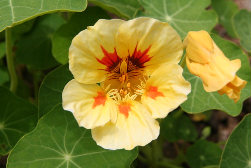 Nasturtiums from Seed