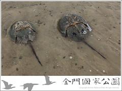 鱟(2009.06.23-後豐港)-01