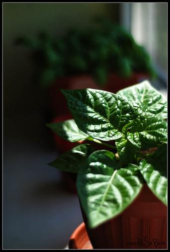 Small habanero plant 1