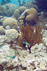 snorkeling woodwind kleinbonaire bluehead thalassomabifasciatum