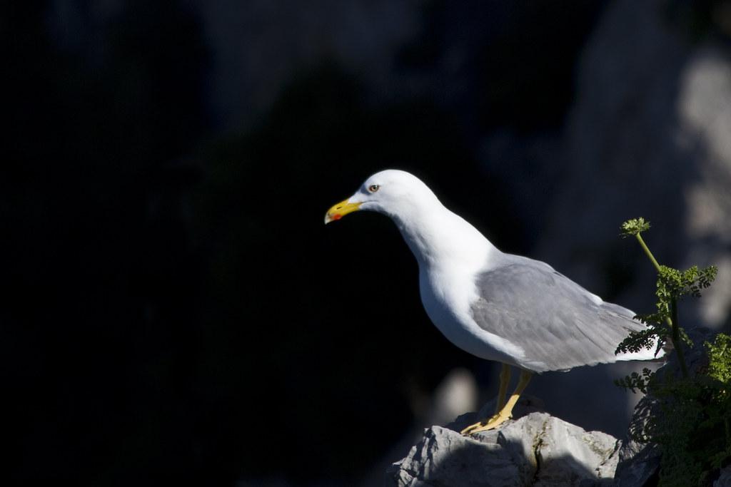 Gull (by storvandre)